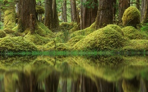 Picture forest, trees, swamp, moss, Canada, British Columbia, Tow Hill Ecological Reserve