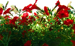 Picture flowers, flowers, green foliage, the sky, sunlight, the green foliage, beams of the sun, red …