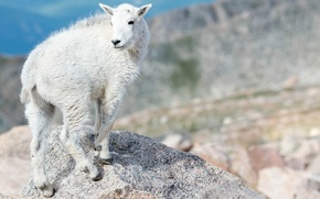 Picture animals, white, mountains, nature, goat, goat, Wallpaper from lolita777, artiodactyls