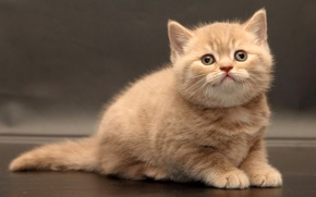 Picture look, baby, kitty, British Shorthair