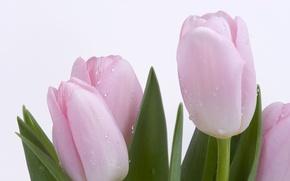 Wallpaper tenderness, Tulips, Ross