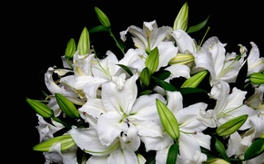 Picture black background, bouquet, Lily, white