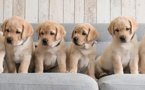 Picture dogs, sofa, puppies, Golden Retriever, Golden Retriever
