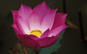 Picture flower, background, pink, Lotus