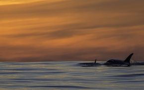 Picture pacific ocean, sunset, killer whales, orca