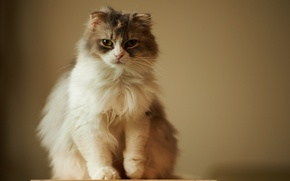 Picture cat, look, background, fluffy