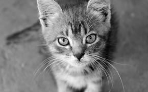 Picture cat, mustache, cat, b/W, kassak groups