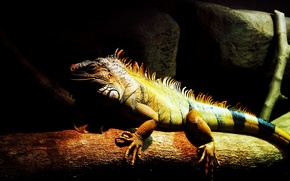 Picture lizard, malaysia, reptile, animals, light, green, dark, 1080P