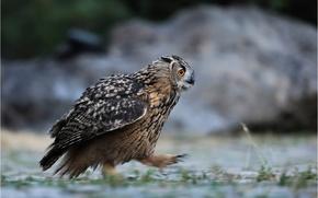 Wallpaper owl, forest, bird