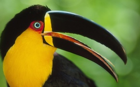 Picture bird, beak, Toucan