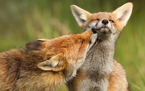 Picture predator, Fox, fox