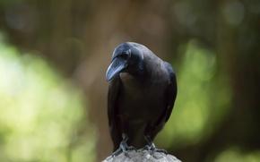 Wallpaper crow, background, bird