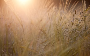 Picture field, the sun, macro, light, sunset, England, the evening, spikelets, UK, ears