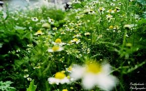 Picture green, chamomile, Ukraine