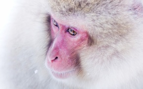 Picture background, monkey, Japanese macaques, snow