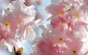 Picture the sky, flowers, branches, cherry, beauty, spring, petals, Sakura, gentle, pink, buds, flowering, sky, pink, ...