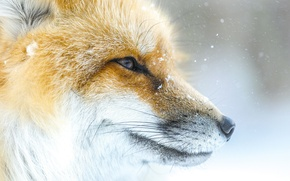 Picture face, snow, Fox, Fox