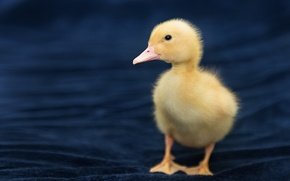 Picture baby, duck, chick