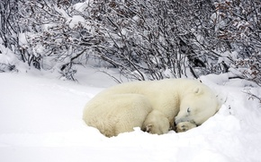Wallpaper winter, forest, snow, Polar bear