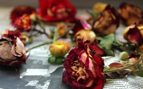 Picture flowers, rose, roses, newspaper, vintage, the dried flowers
