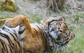 Picture cat, tiger, ©Tambako The Jaguar, Sumatran