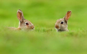 Wallpaper two, animals, nature, rabbits, blur, greens, ears, grass