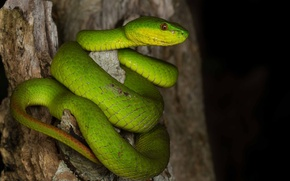Picture stump, snake, ring, green