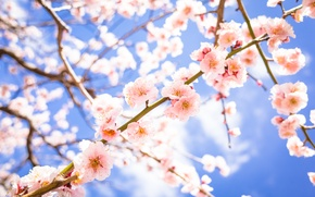 Picture flowers, branches, spring, flowering, drain