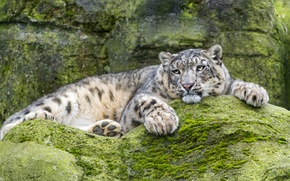 Picture cat, stay, stone, moss, IRBIS, snow leopard, ©Tambako The Jaguar