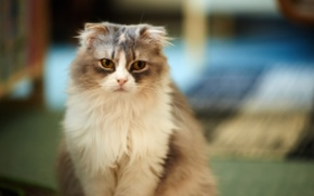 Picture cat, look, grey, fluffy, fold