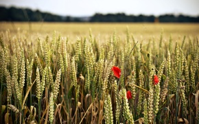 Picture wheat, field, flower, flowers, red, background, widescreen, Wallpaper, rye, spikelets, wallpaper, ears, flowers, flower, widescreen, …