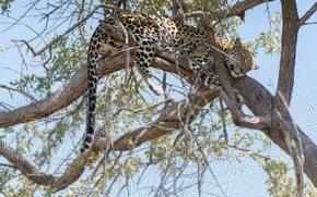 Picture branches, tree, stay, sleep, predator, leopard, tail, Africa, wild cat