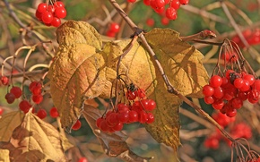 Picture autumn, leaves, berries, Kalina
