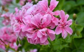 Picture flower, petals, Azalea