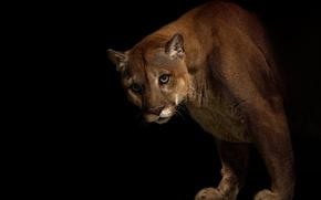 Picture look, predator, Puma, big cat