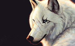 Picture white, Wolf, black background, blue eyes, scars