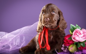 Picture flowers, puppy, chocolate, Spaniel