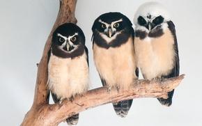 Picture animals, bird, birds, three, animal, owl, owls