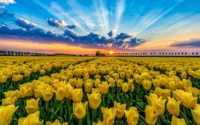 Wallpaper flowers, nature, tulips