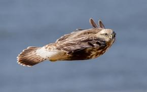 Picture speed, flight, hawk