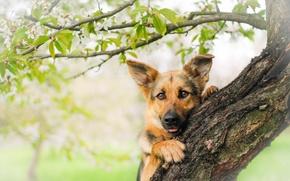 Picture look, face, tree, dog, shepherd, German shepherd