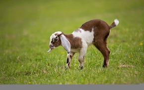 Picture cub, lawn, goat