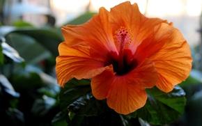 Picture greens, flower, orange, window, hibiscus