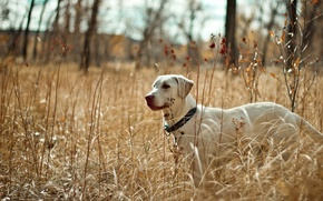 Picture field, nature, dog
