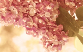 Picture leaves, macro, flowers, sprig, pink, tenderness, spring, cream, lilac