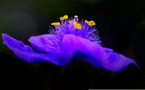 Picture flower, background, petals, stamens