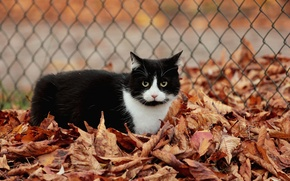 Picture cat, leaves, black and white, the fence, autumn