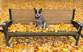 Picture autumn, leaves, dog, bench