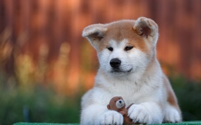 Picture toy, puppy, breed, Akita