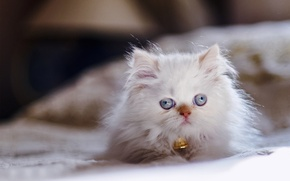Picture look, kitty, blue eyes, Persian color-point, Himalayan cat